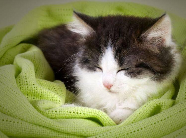 Zum Kuscheln: Flauschiges Katzenkind auf einer gemütlichen Decke — Bild: Shutterstock / iLight foto