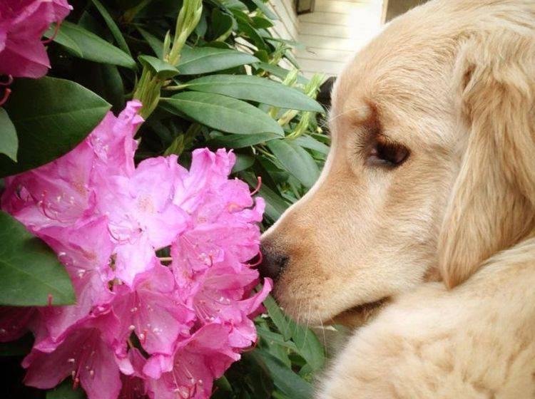 Sehen kann der schöne Ray Charles nicht, aber riechen! — Bild: 2013 Facebook / Ray Charles The Golden Retriever