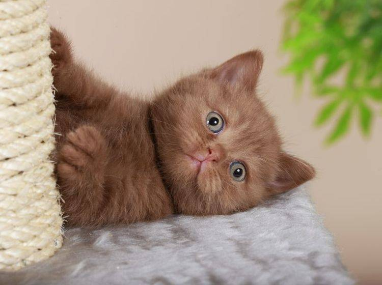 Süße Britisch Kurzhaar: Nicht ohne meinen Kratzbaum — Bild: Shutterstock / absolutimages