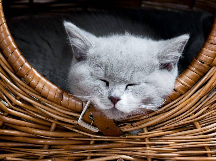Kuschelzeit für Katzen: Dafür gibt es viele tolle Körbchen — Bild: Shutterstock / Gutzemberg