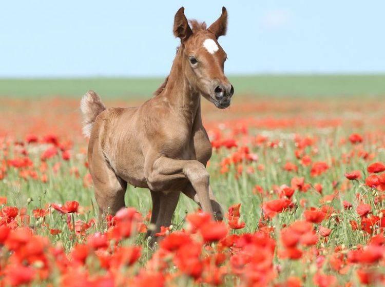 Wunderschön: Ein Vollblut-Fohlen im Blumenmeer — Bild: Shutterstock / Zuzule