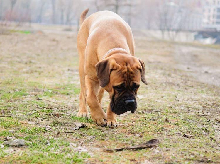 Arthrose beim Hund: Symptome zeigen sich unter Anderem durch Steifheit der Gelenke — Bild: Shutterstock / Inna Astakhova
