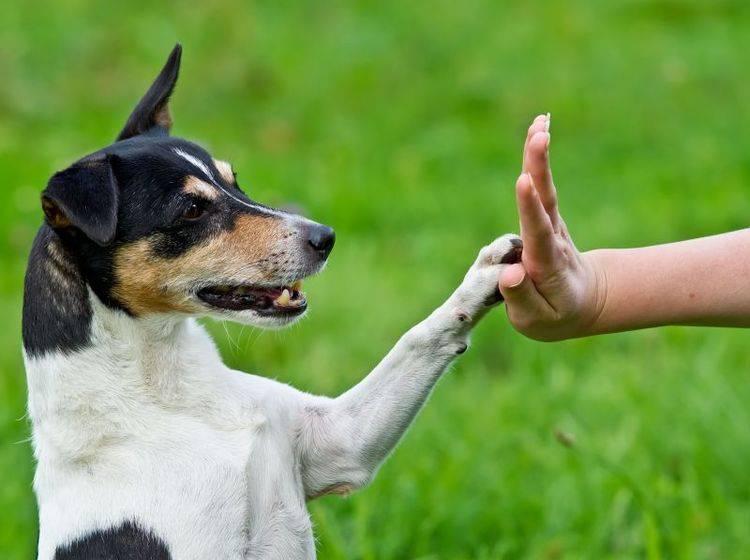 """""""Schlag ein!"""" Gutes Hundetraining führt zu einer vertrauensvollen Beziehung zwischen Vierbeiner und Herrchen — Bild: Shutterstock / dwphotos"""