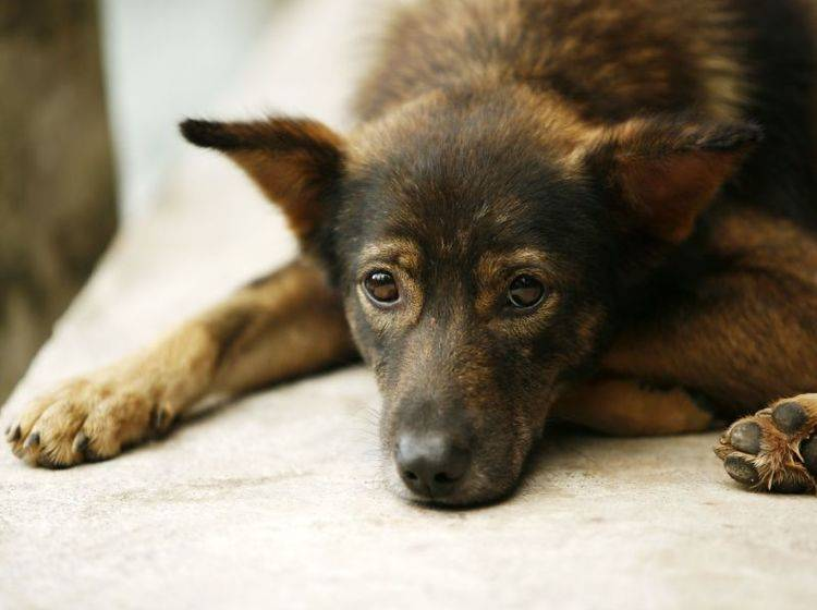 Borreliose-Symptome beim Hund sind leider sehr unspezifisch — Bild: Shutterstock / Tatiana Morozova