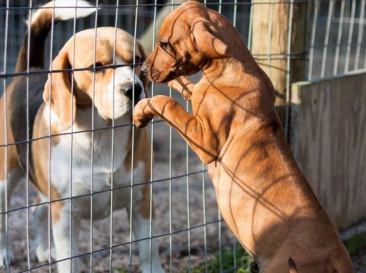 Vorsicht ansteckend: In Tierheimen können sich Giardien beim Hund blitzschnell verbreiten — Bild: Shutterstock / StefanHuman