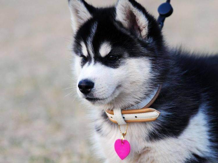 Ein Herz für Huskys: Kleiner Liebesbeweis an einen Hund — Bild: Shutterstock / Eastimages
