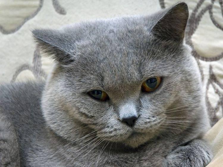 Umso rechtzeitiger man Zahnstein bei Katzen entdeckt, umso besser — Bild: Shutterstock / Krivitsky Vladimir