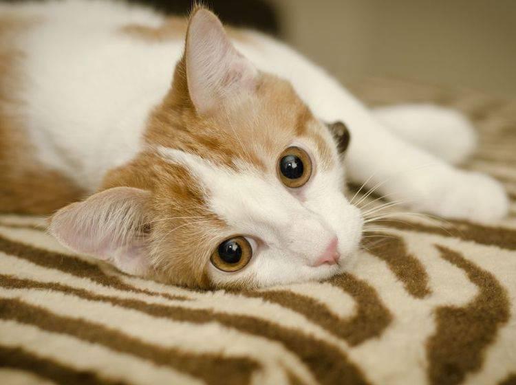 Bei Symptomen für eine Schilddrüsenüberfunktion bei Katzen sollte der Tierarzt aufgesucht werden — Bild: Shutterstock / Annmarie Young