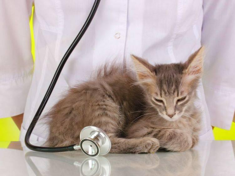 Katzen mit Schilddrüsenüberfunktion: Die Diagnose stellt der Tierarzt — Bild: Shutterstock / Africa Studio