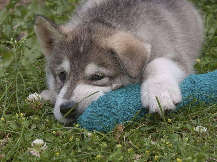 Homöopathie für Hunde kann bei Symptomen wie Müdigkeit helfen — Bild: Shutterstock / Joan Budai