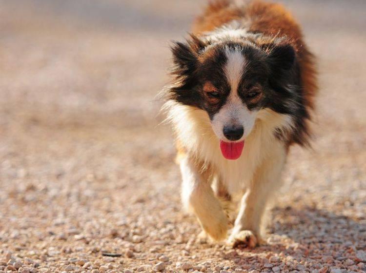 Zecken bei Hunden können sich mit verschiedensten Krankheitssymptomen äußern — Bild: Shutterstock / Alexandra Giese