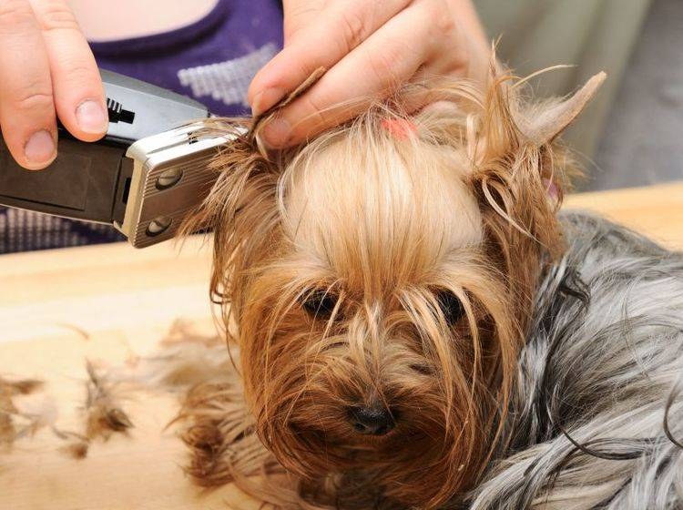 Yorkshire-Terrier-Hund-Scheren