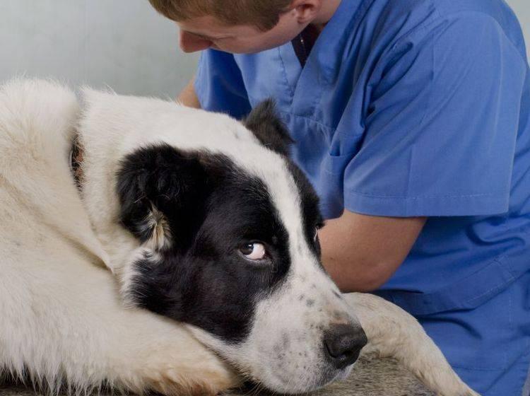 Je früher Tetanus beim Hund behandelt wird, desto besser — Bild: Shutterstock / Byelikova Oksana