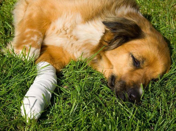 Tetanus beim Hund ist eine seltene, aber gefährliche Krankheit — Bild: Shutterstock / Martina Osmy