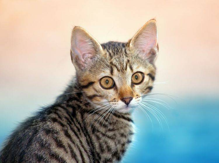 Freigänger-Katze: In der Dämmerung wird's aufregend — Bild: Shutterstock / vvvita