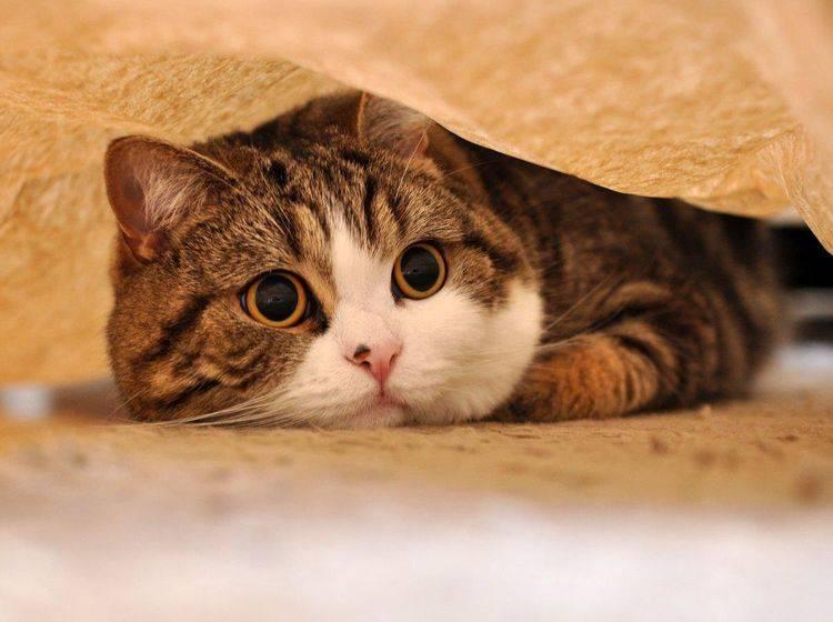 Wir lieben Kater Maru, weil ... er mit seinen riesigen Augen einfach zu niedlich ist — Bild: 2013 Facebook / Maru