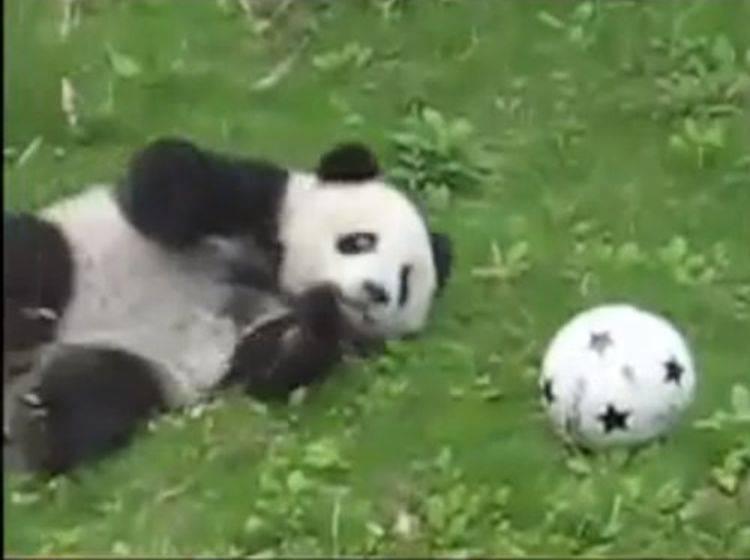 Tapsiges Pandabärchen möchte Fußballprofi werden — Bild: Youtube / pipsatch