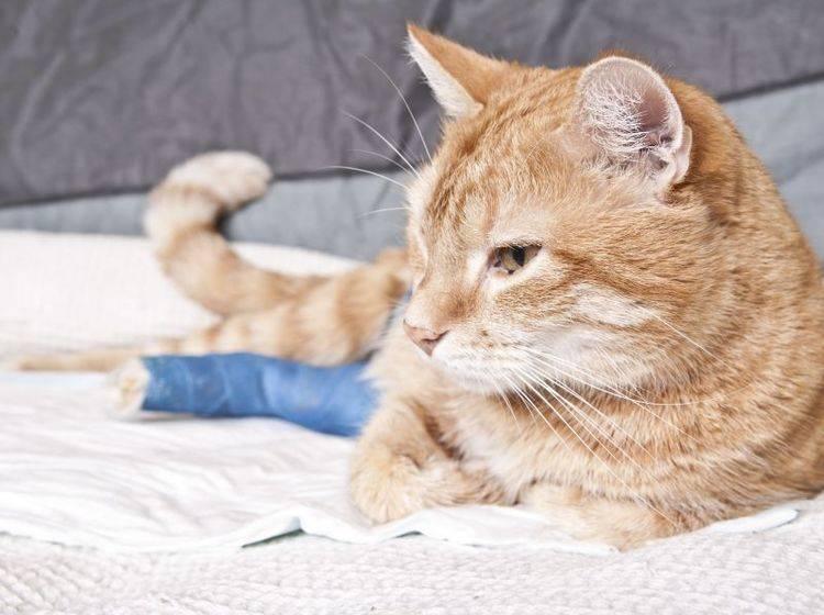 Katzenversicherungen: Wann sind sie sinnvoll? — Bild: Shutterstock / Daniel Rajszczak