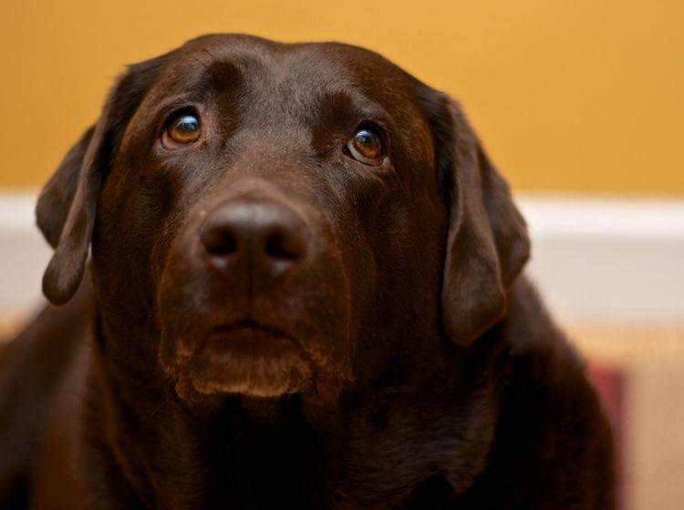 Schokoladenvergiftung muss behandelt werden: Geben Sie dem Hundeblick nicht nach