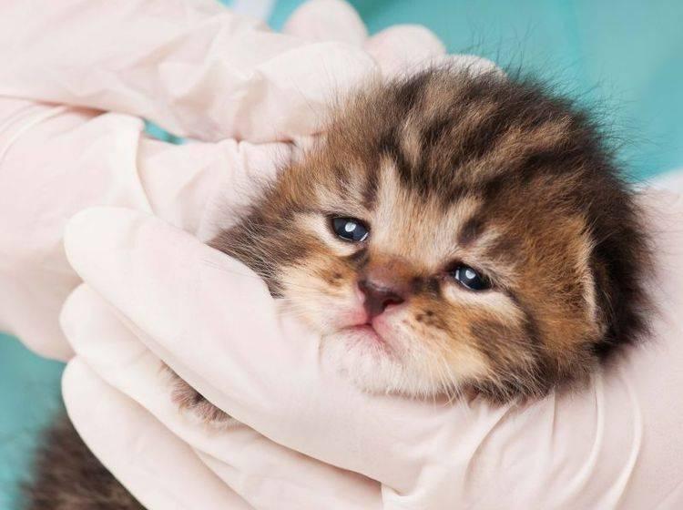Symptome möglichst schnell erkennen: Katzenseuche ist sehr gefährlich — Bild: Shutterstock / Lubava