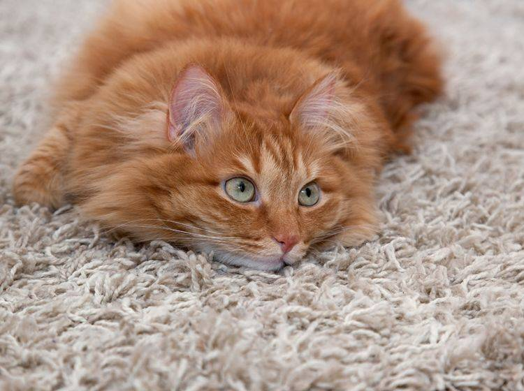 Katzenflöhe in der Wohnung sind auf Teppichen besonders hartnäckig