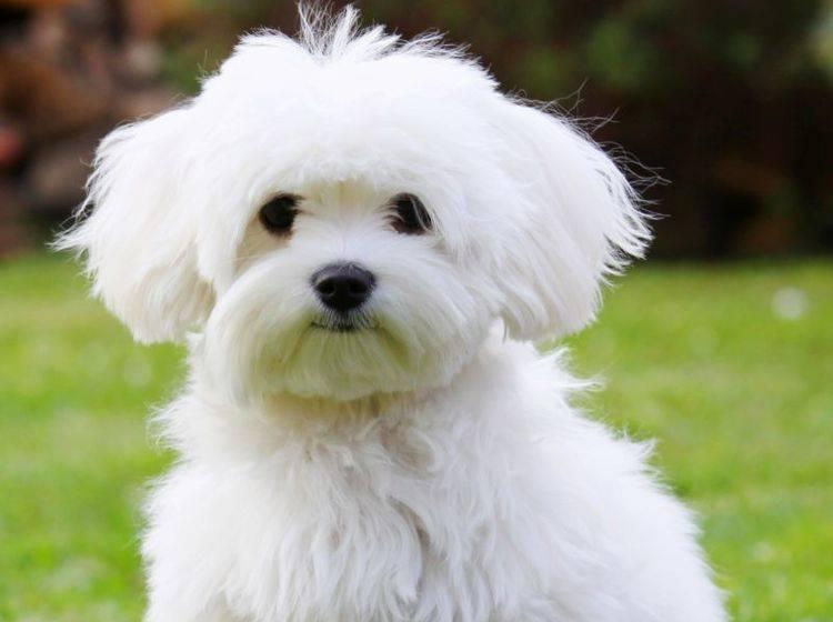 Malteser-Hunde sind perfekte Familienhunde — Bild: Shutterstock / Malota