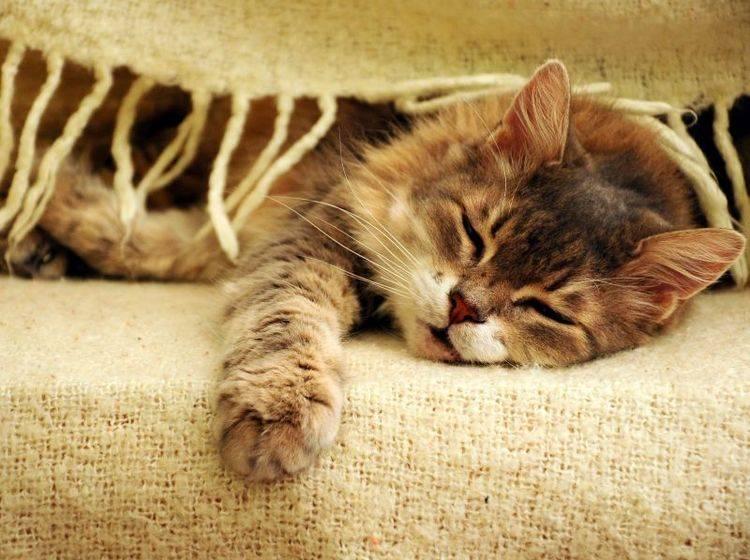 Diabetes bei Katzen kann sich durch verschiedene Symptome äußern — Bild: Shutterstock / berna namoglu