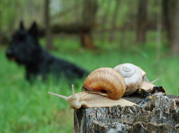 Gefahr für Hunde durch Schnecken: Sie können Würmer übertragen — Bild. Shutterstock / eAlisa