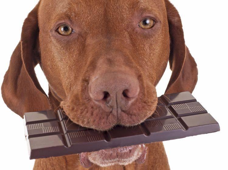 Für Hunde ist Schokolade giftig: Geben Sie ihm besser andere Leckerli