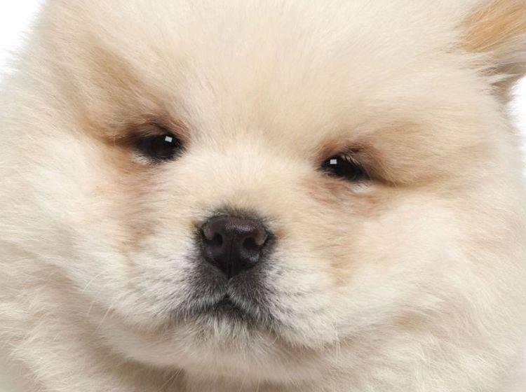 Hübsch und süß: Ein junger Chow-Chow von Nahem — Bild: Shutterstock / Eric Isselee