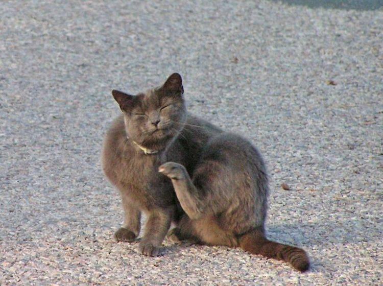 Flöhe bei Katzen sind an Symptomen wie Juckreiz zu erkennen — Bild: Shutterstock / Andreas Nilsson