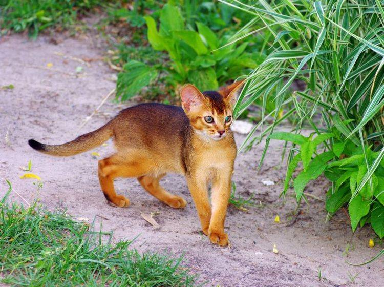 Puma oder Stubentiger? Bei der schönen Abessinierkatze ist man sich manchmal gar nicht so sicher — Bild: Shutterstock / Dolnikov