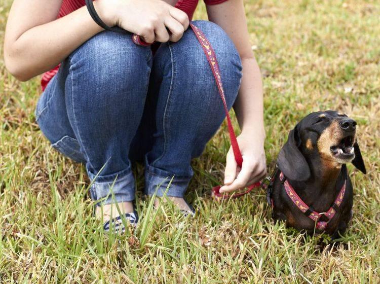 Stressig wird es für Frauchen, wenn der geliebte Hund ständig bellt – Shutterstock / dogboxstudio