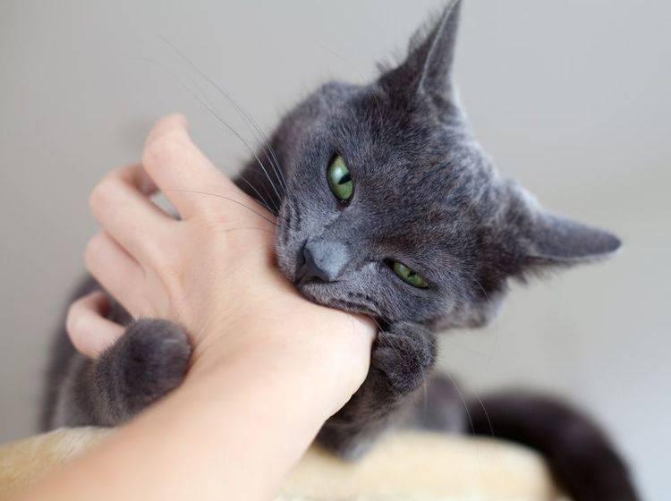 Autsch! Beißende Katzen sind nicht die angenehmsten Zeitgenossen — Bild: Shutterstock / Diana Taliun