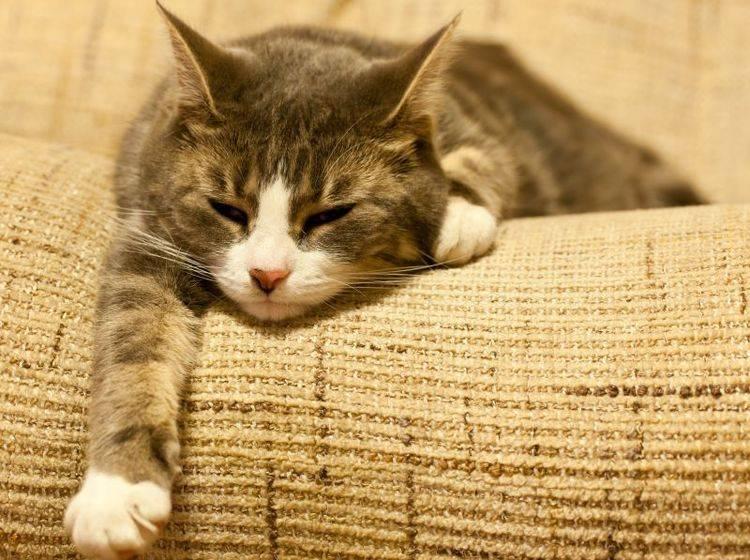 Fieber bei Katzen äußert sich durch erhöhte Temperatur und Abgeschlagenheit — Bild: Shutterstock / Photoseeker