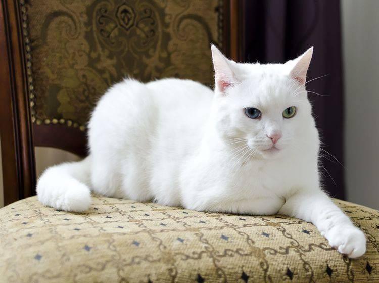 In voller Pracht: Eine Türkisch Van Katze mit einem blauen und einem grünen Auge posiert — Bild: Shutterstock / DmitriMaruta