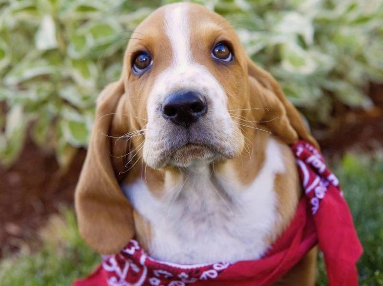 Allergie, Bronchities, Erkältung: Husten beim Hund kann verschiedene Ursachen haben — Bild: Shutterstock / Robynrg