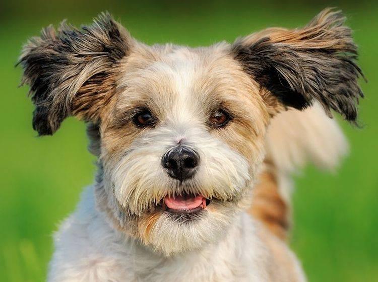 Freundlich, ausgeglichen und trotzdem verspielt: Der süße Bolonka Zwetna — Bild: Shutterstock / AnetaPics