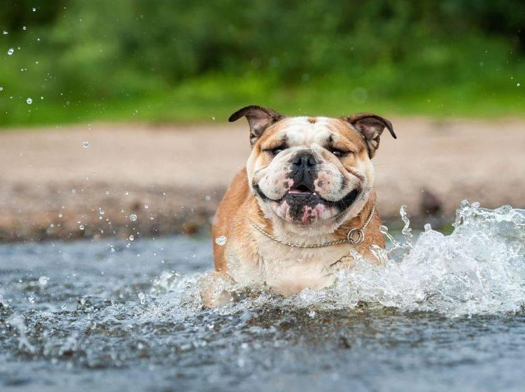 Englische Bulldoggen sind mutig, verspielt und Fans von schönen Ausflügen — Bild: Shutterstock / Tatiana Katsai