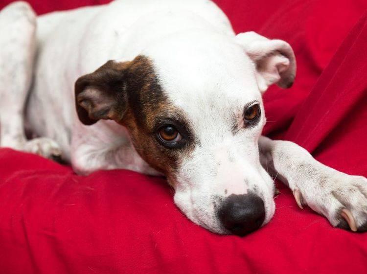 Läufigkeit bei Hunden: Manche Tiere wirken müde und antriebslos — Bild: Shutterstock / Portokalis