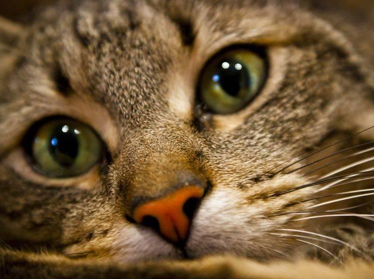 Katzenschnupfen sollte so schnell wie möglich vom Tierarzt behandelt werden — Bild: Shutterstock / A.Gainza