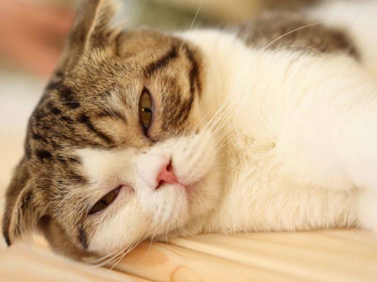 Bindehautentzündung bei Katzen ist sehr unangenehm für den kleinen Patienten — Bild: Shutterstock / Tawin Mukdharakosa