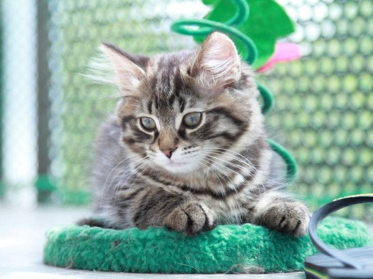 Katzen das Kratzen an Tapeten abzugewöhnen ist nicht einfach, aber lohnt sich — Bild: Shutterstock / Massimo Cattaneo