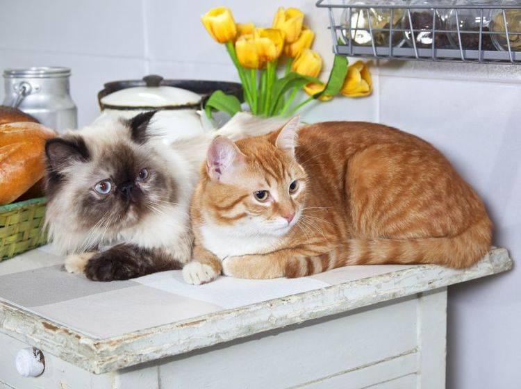 Katzen Das Springen Auf Den Tisch Abgewohnen