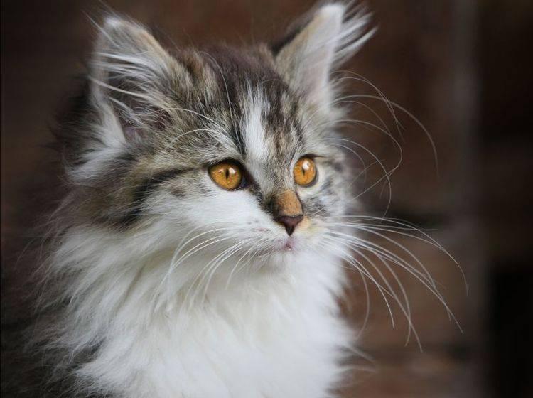 Die Sibirische Katze ist eine schöne, stolze Erscheinung mit großen, ovalen Augen. Besonders schön sind sie in gold-orange — Bild: Shutterstock / Reinhold Leitner
