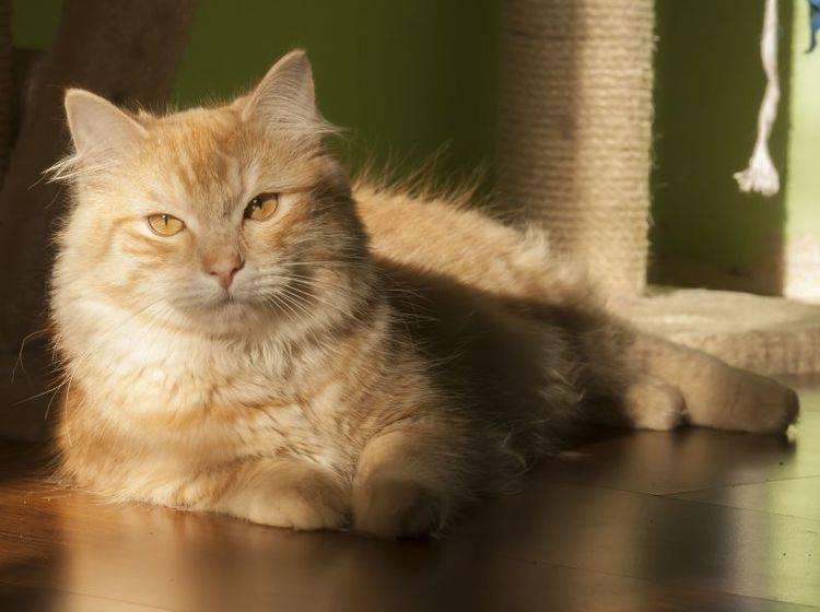 Das schöne Fell der Sibirischen Katze sollte einmal pro Woche gebürstet werden, um nicht zu verfilzen — Bild: Shutterstock / Massimo Cattaneo