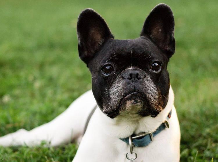 Wollen Sie eine französische Bulldogge kaufen, müssen Sie verschiedene Punkte beachten. – Bild: Shutterstock / Csehak Szabolcs