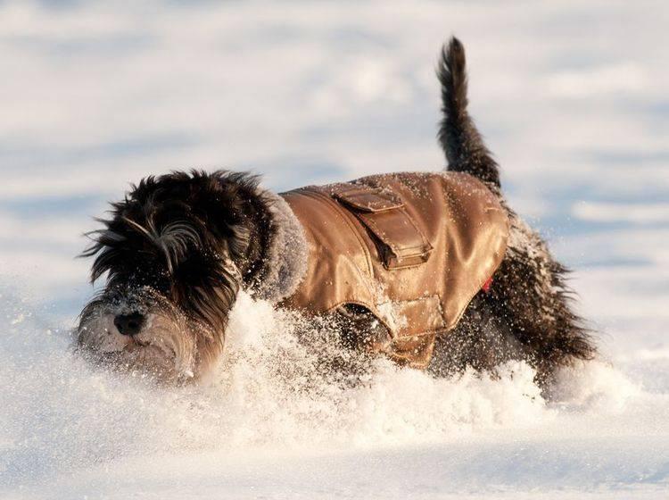 Im kalten Winter kann es Sinn machen, einen Hund mit Hundebekleidung vor der Kälte zu schützen – Bild: Shutterstock / Budimir Jevtic