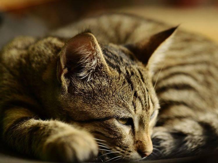 Akuten Durchfall bei Katzen können Sie oft mit Wasser, Ruhe und Schonkost lindern – Bild: Shutterstock / Vinogradov Illya