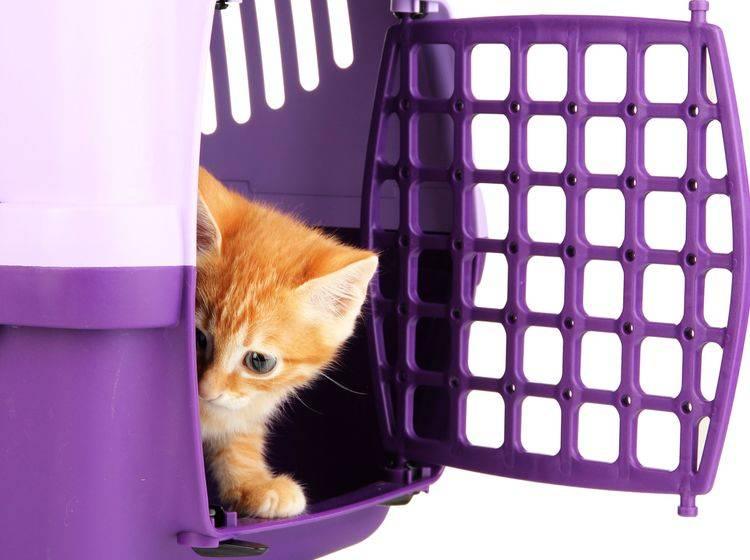 Die Angst vor der Katzentransportbox zu nehmen ist gar kein so leichtes Unterfangen – Bild: Shutterstock / Africa Studio's